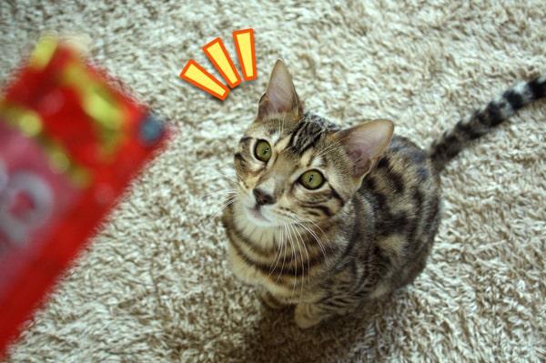 ベンガル猫にちゃおちゅ~るをあげてみた