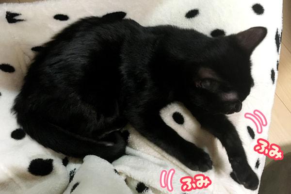 ベンガル猫の黒色メラニスティック