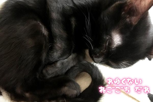 ベンガル猫 黒 メラニスティック