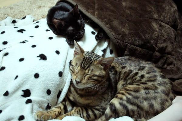 ベンガル猫と添い寝