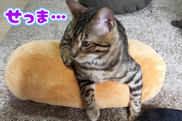 大きくなったベンガル猫とぬいぐるみ