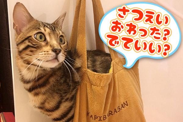大きくなったベンガル猫にはバッグは狭い