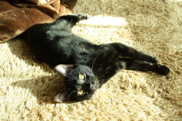 ベンガル猫の日向ぼっこ
