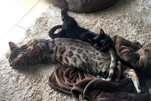 ベンガル猫の一緒に日向ぼっこ