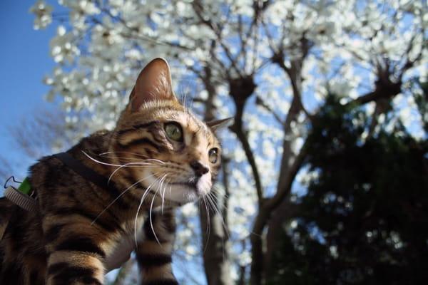 ベンガル猫と春の訪れ