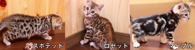 ベンガル猫の種類や毛色や模様