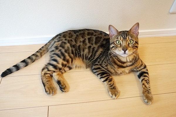 ベンガル猫のオスの性格