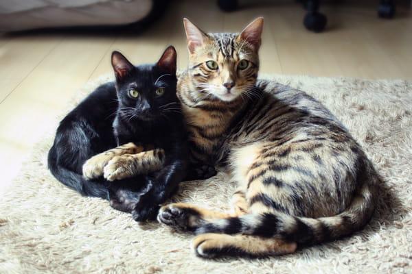 ベンガル猫の魅力や性格