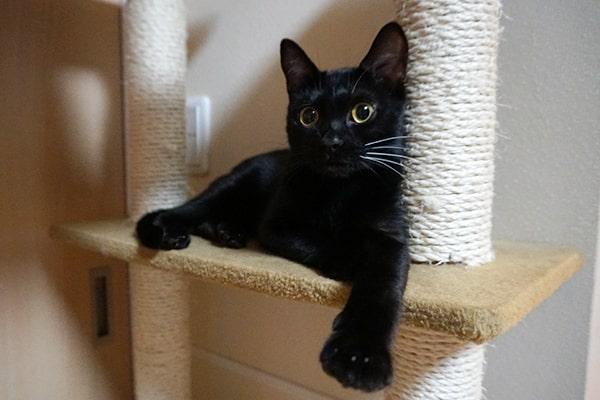 ベンガル猫のメスの性格