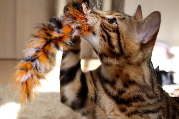 ベンガル猫を飼ってみて大変だったこと