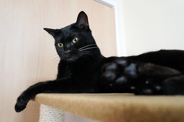 ベンガル猫の雌の特徴