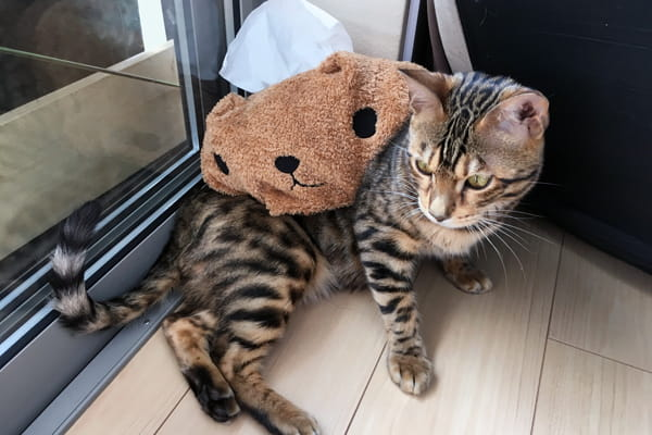 ベンガル猫は猫アレルギーが出にくい