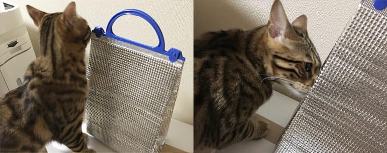 ベンガル猫の避妊手術と傷が治るまでの経過記録