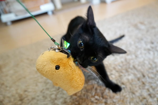 新しいおもちゃ『じゃれ猫びょ~んミツバチ』で遊んでみた
