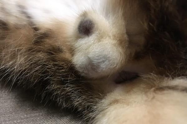 去勢手術をしたオス猫の傷が治る経過