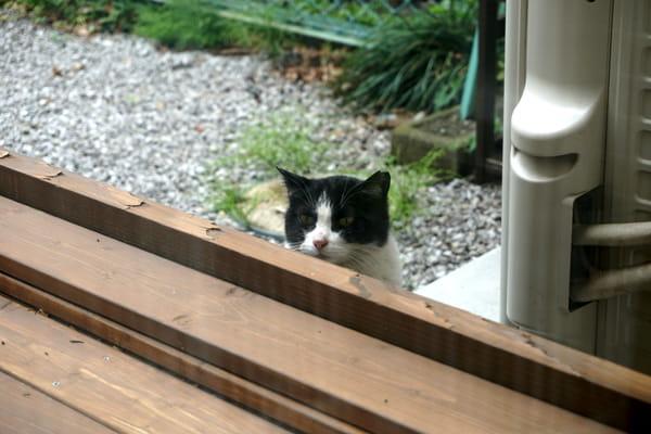 地域猫のシロクロちゃんと家猫が友達になった話