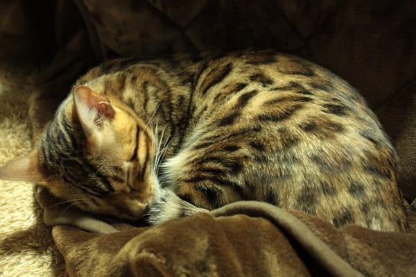 ベンガル猫に生肉を与える効果