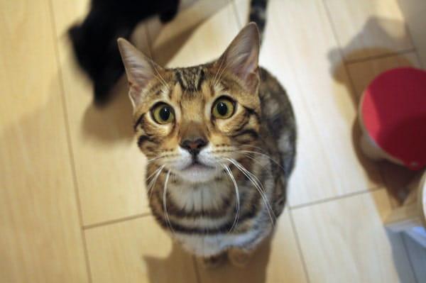 ベンガル猫は生肉が大好き