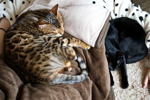 ベンガル猫の多頭飼育のメリットとデメリット