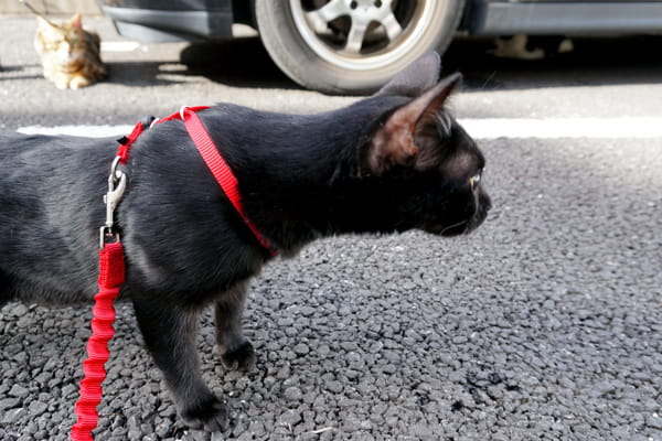 猫用リードでベンガル猫と初めてのお散歩