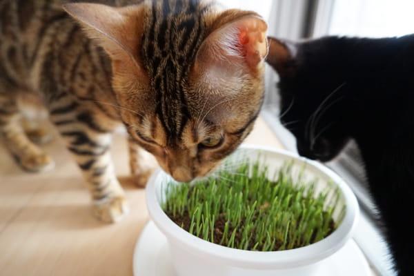 猫草の効果と与えるときの注意点