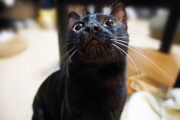 ブラックベンガルはなぜ黒いのか