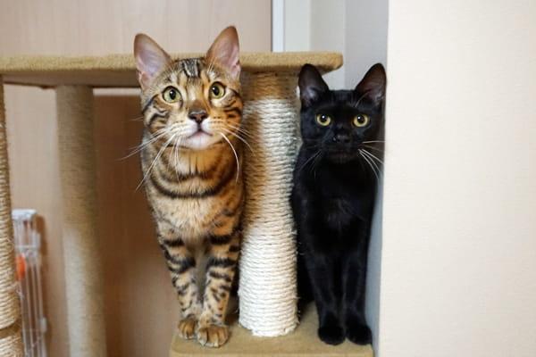 『ベンガル猫とテトとピノ』ってどんなブログ?