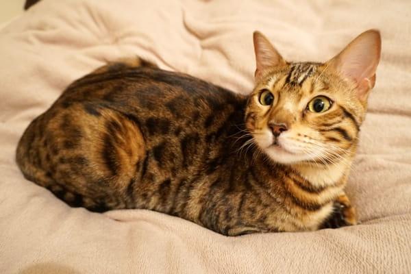 パンケーキが食べたいベンガル猫