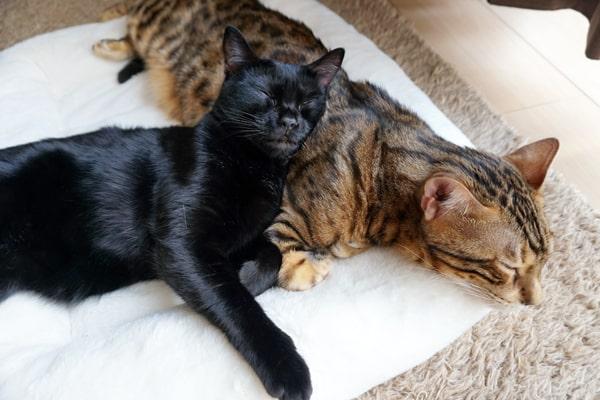 ベンガル猫と過ごす1日