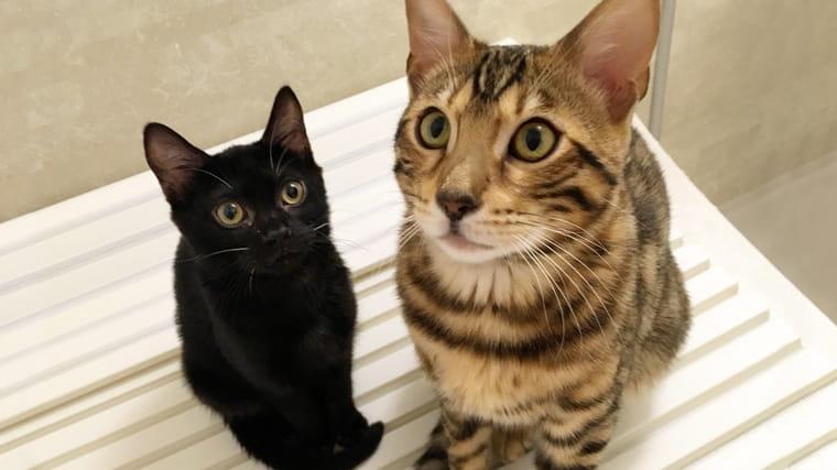 ベンガル猫専門ブリーダーのリアルキャット体験レポと感想