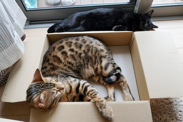 ベンガル猫と段ボール