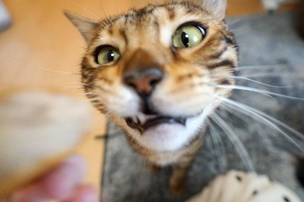 スティックパンが食べたいベンガル猫