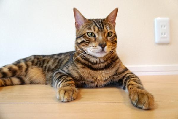 シングルコートの短毛種に適した猫ブラシ