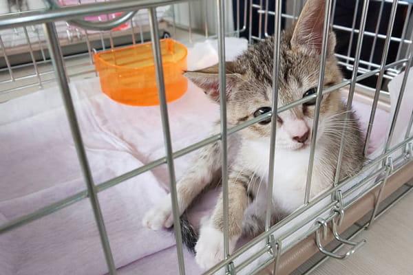 軽度猫アレルギーの飼い主がベンガル猫と暮らしている話
