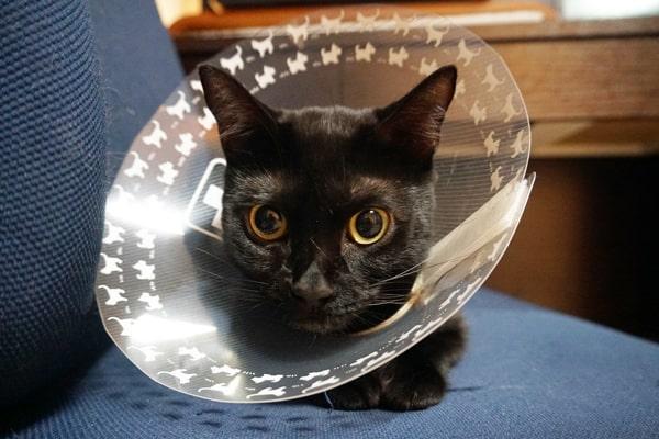 重症化した猫の指間炎の症状と治療過程