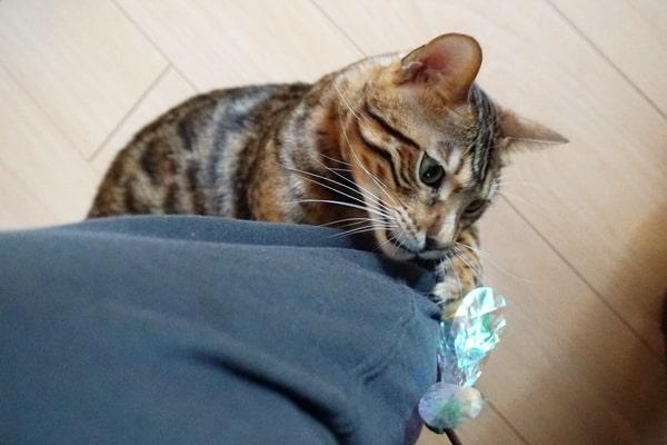 おすすめの猫じゃらし