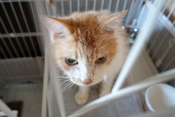 保護された糖尿病の猫