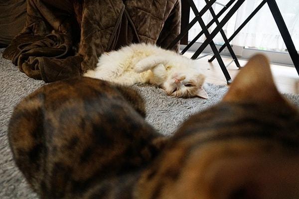 成猫同士を仲良くさせる方法は?