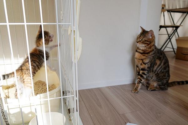 猫風邪による酷い結膜炎の仔猫