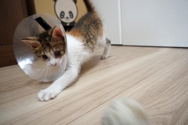 仔猫を慣れさせる方法