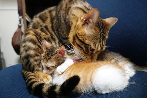 保護した仔猫が先住猫をママ認定