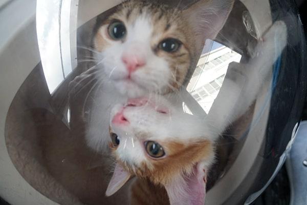 保護猫仔猫の2回目のワクチン